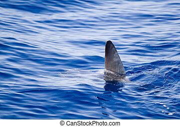 акула, метафора, воды, приход, вне, плавник, санфиш
