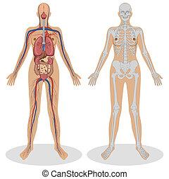 анатомия, женщина, человек