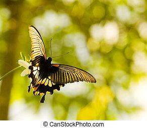 бабочка, летающий, раздвоенный хвост, танцы