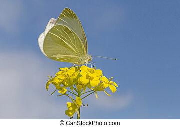 бабочка, цветок, желтый, сидящий