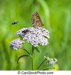 бабочка, checkered, красновато, ), (, melitaea, аурелия