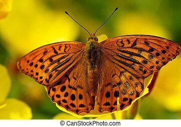 бабочка, wings