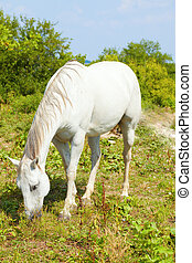 белая лошадь, grazing