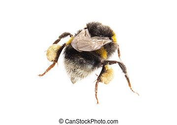 белый, пчела, isolated
