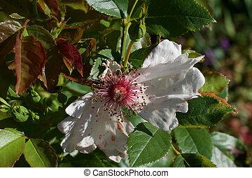 белый, stamens, лето, роза, розовый, просто, зеленый, листва