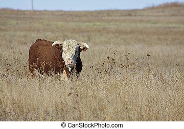 большой, херефорд, бык