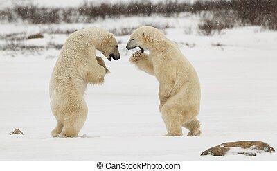 борьба, полярный, bears