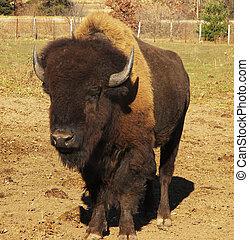 буйвол, американская