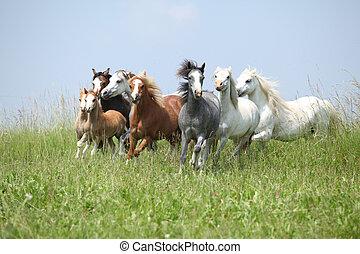 валлийский, ponies, партия, вместе, бег, пастьба