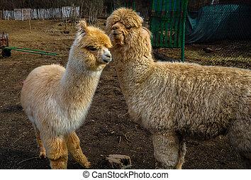 вверх, детка, милый, alpacas, закрыть, пушистый, ферма, два