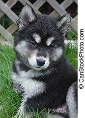 великий, пушистый, собака, лицо, alusky, щенок