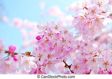 весна, в течение, blossoms, вишня