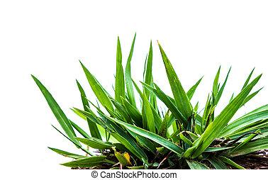весна, трава, isolated, white.