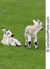 весна, lambs