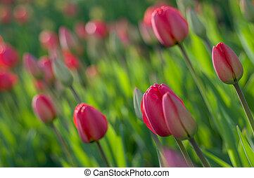 весна, tulips.