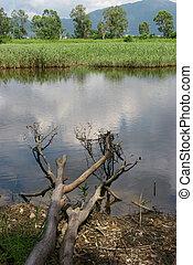 ветви, отражение, trees, water., roots, дерево