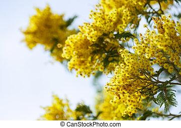 ветви, против, небо, желтый, акация