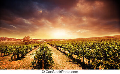 виноградник, закат солнца