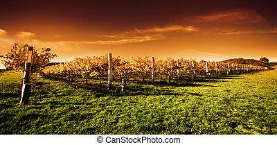 виноградник, золотой, закат солнца