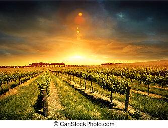 виноградник, оглушающий, закат солнца
