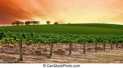 виноградник, прокатка, закат солнца