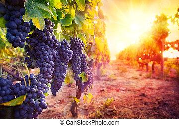 виноградник, созревший, виноград