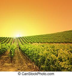 виноградник, холм