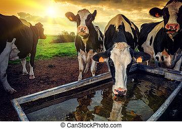 воды, питьевой, calves, молодой, пасти