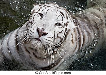 воды, тигр, белый