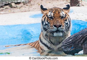 воды, тигр