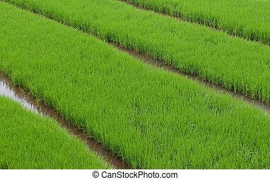 возраст, это, запад, до, переехать, взятый, ява, зеленый, зона, насаждение, plants, right., когда, картина, indonesia., рис, реальный, seeds, являющийся, где, расти, fields.