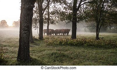 восход, выгон, копия, крупный рогатый скот, пространство