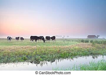 выгон, восход, крупный рогатый скот