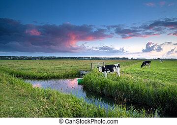 выгон, закат солнца, корова