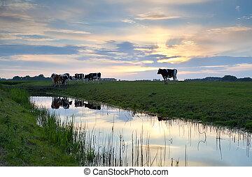 выгон, закат солнца, крупный рогатый скот