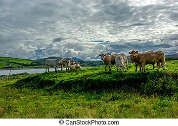 выгон, ирландия, крупный рогатый скот