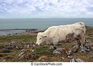 выгон, ирландский, burren, grazing, крупный рогатый скот