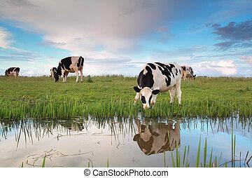 выгон, клевок, река, корова