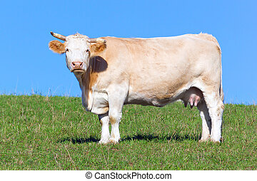 выгон, корова