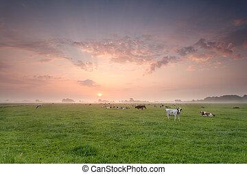 выгон, крупный рогатый скот, восход, пасти
