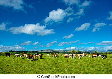 выгон, крупный рогатый скот, солнечно, пасти