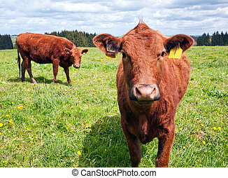 выгон, крупный рогатый скот
