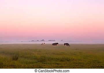 выгон, лето, туман, крупный рогатый скот