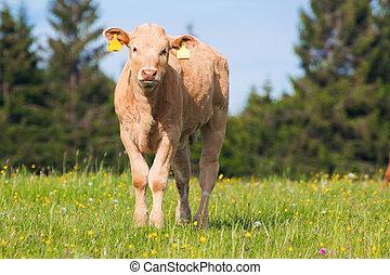 выгон, молодой, корова