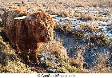 выгон, нагорье, крупный рогатый скот, на открытом воздухе