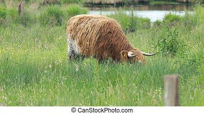 выгон, нагорье, крупный рогатый скот