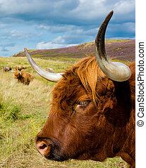 выгон, нагорье, крупный рогатый скот, шотландский