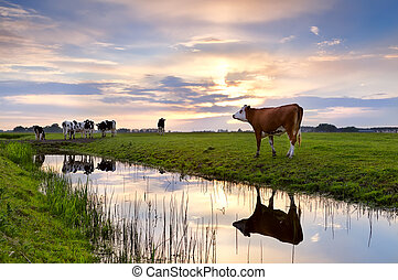 выгон, река, закат солнца, крупный рогатый скот