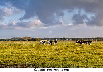 выгон, солнечный свет, крупный рогатый скот, утро