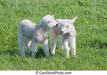 выгон, lambs, доволен, весна, молодой